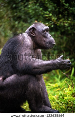 chimpanzee in profile against a background of grass and leaves/Chimpanzee - stock photo