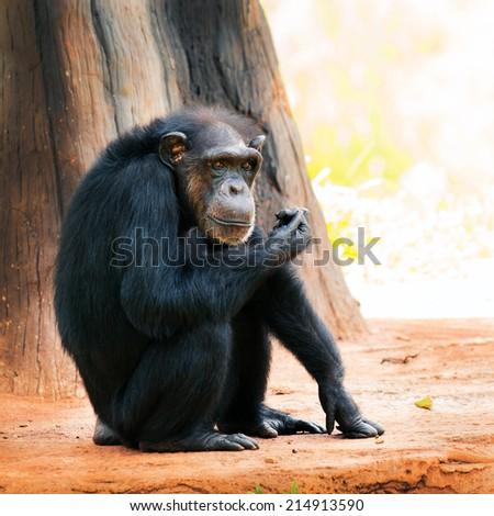 Chimpanzee in Thailand zoo - stock photo