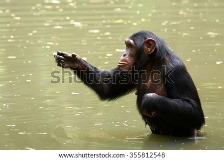Chimpanzee intelligence monkey with cute action in water  - stock photo