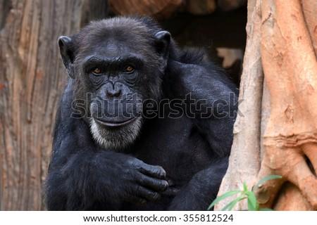 Chimpanzee intelligence monkey with cute face like smile - stock photo