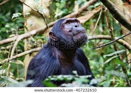 Chimpanzee looking upwards in Kibale Forest National Park, Uganda - stock photo
