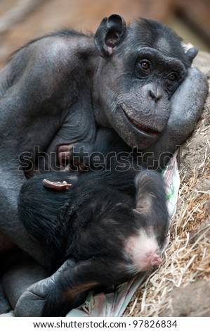 Chimpanzee mother breast feeding her little cub - stock photo