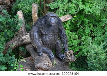 Chimpanzee on a tree. The chimpanzee poses on a tree in dark green wood. - stock photo