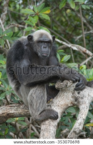 Chimpanzee on mangrove branches. Republic of the Congo. Conkouati-Douli Reserve. An excellent illustration.