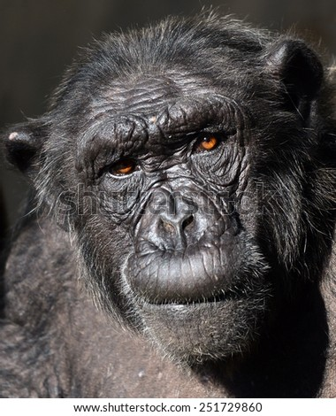 Chimpanzee portrait - stock photo