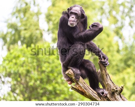 Chimpanzee resting on the tree looking into the distance - stock photo
