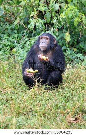 Chimpanzee Sanctuary, Game Reserve - Uganda, East Africa - stock photo