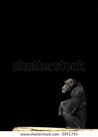 Chimpanzee Sitting Against a Black Background with Copy Space - stock photo