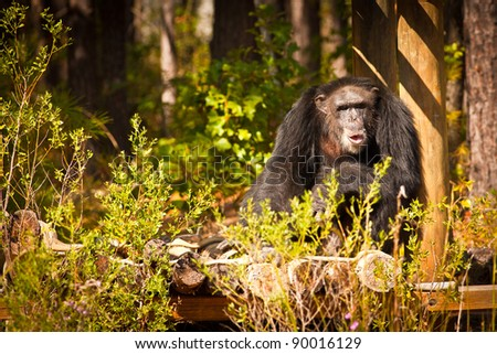 Chimpanzee sitting on a log platform in the bush and looking inquisitive