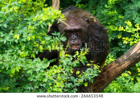 chimpanzee sitting on a tree in the forest. - stock photo