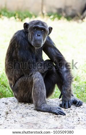 Chimpanzee sitting on rock - stock photo