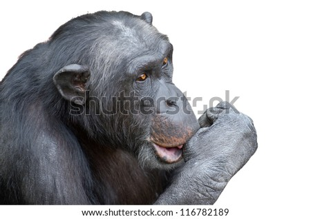 Chimpanzee sucking his thumb isolated over white background