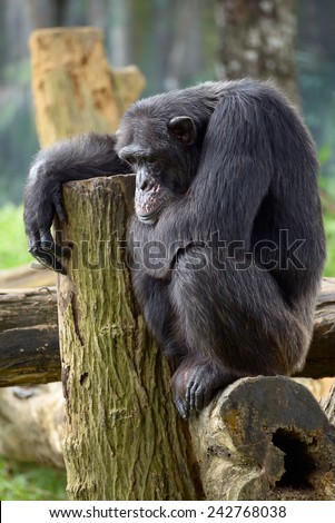 Chimpanzee thinking about life while sitting on a log
