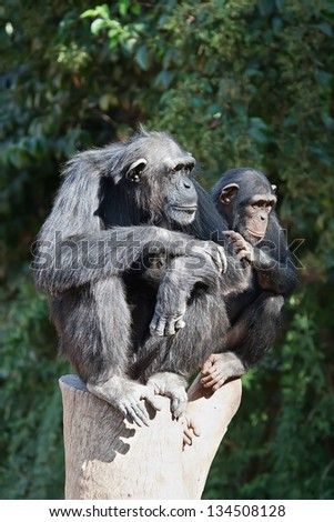 Chimpanzee with a baby - stock photo
