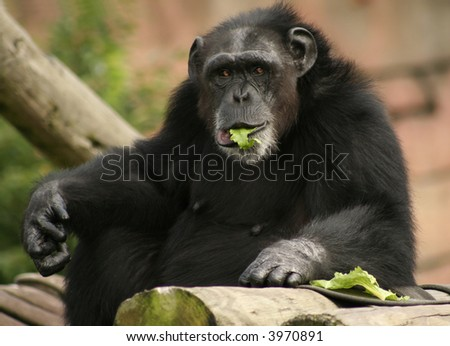 Chimpanzee with Lettuce in his mouth