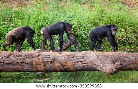 Chimpanzees - stock photo