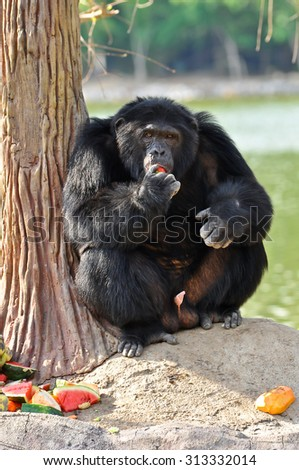 Chimpanzees are intelligent animals that are similar to humans and are strong. - stock photo