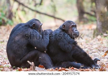 Chimpanzees grooming - stock photo