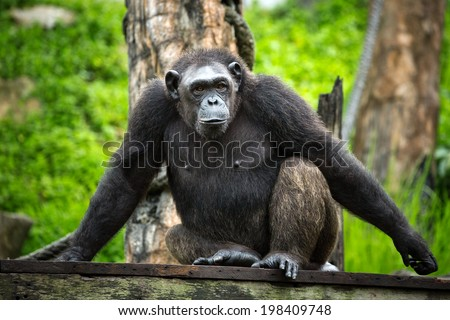 Chimpanzees in the zoo. - stock photo