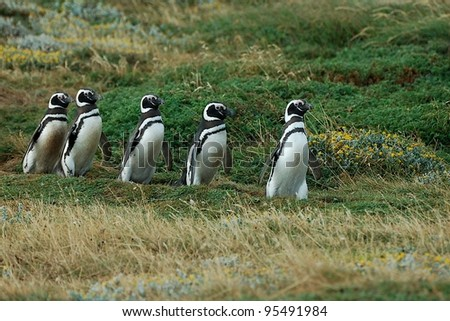 Chin-strap penguins following the leader