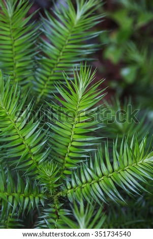 China fir branch