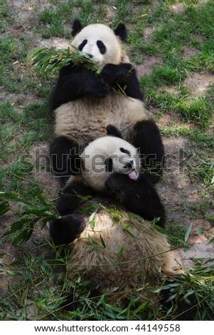china panda - stock photo