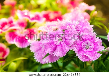 China Pink , Dianthus chinensis L. flower for background   - stock photo