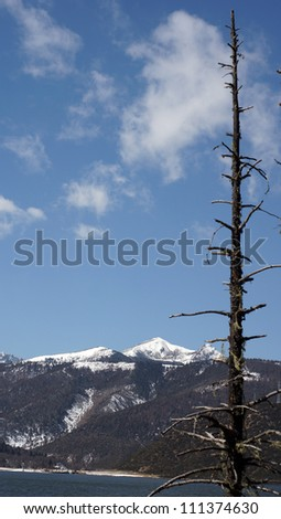 china travel lonely fir in western china with snow mountain background in pudacuo national park in shangri la - stock photo