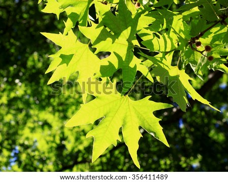 chinar leaves stock photo royalty free 356411489 shutterstock rh shutterstock com Chinar Restaurant chinar 2 english guide