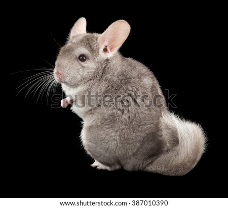 Chinchilla isolated on a black background. series of images. - stock photo
