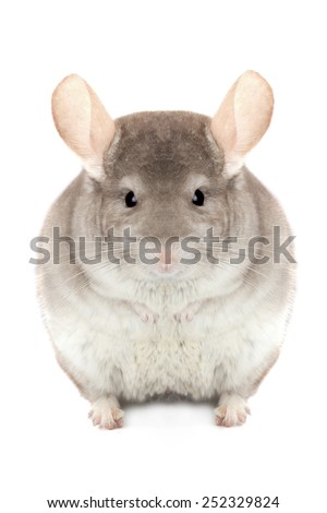 chinchilla isolated on a white background - stock photo