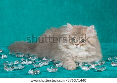 Chinchilla Persian kitten lying down with fake glass diamante on bright green background  - stock photo