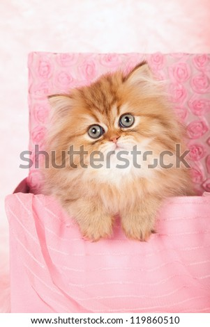 Chinchilla Persian kitten sitting in pink gift box on pink background