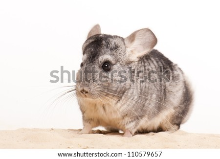 chinchilla playing on sand with white background