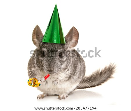 Chinchilla wearing party hat and blower cutout - stock photo
