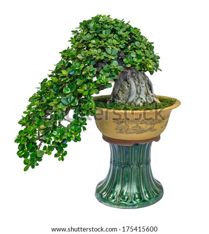 chinese banyan fig tree growing on the rock as bonsai isolated on white background - stock photo