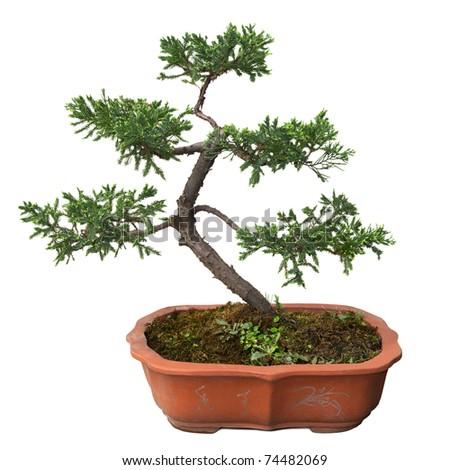 chinese bonsai tree of  pine isolated on white - stock photo