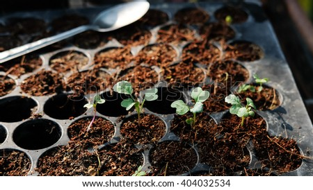 Chinese broccoli sprout - stock photo