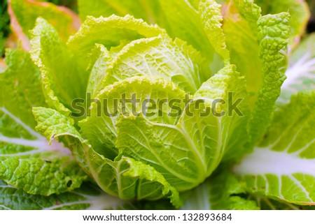 Chinese cabbage - stock photo