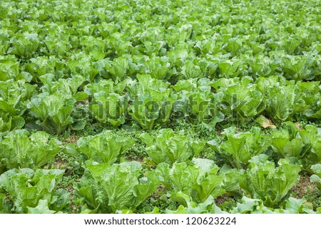 chinese cabbage field in the country side - stock photo