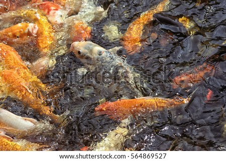 Goldfish lots stock images royalty free images vectors for Can fish see water