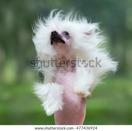 Chinese Crested Dog Breed. Dog rearing. Close up.