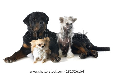 Chinese Crested Dog, chihuahua and rottweiler in front of white background