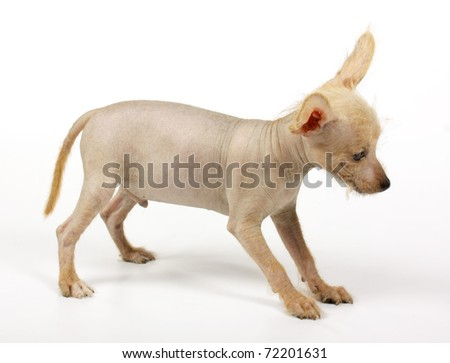 Chinese crested dog isolated against white background