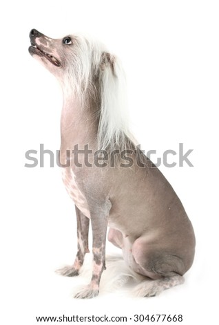 Chinese Crested dog isolated on white