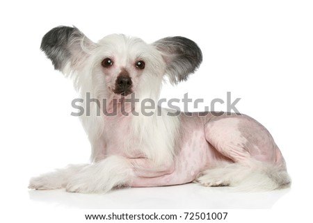 Chinese Crested Dog lying on a white background
