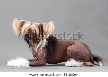 Chinese Crested Dog male lying on grey background. No isolated.