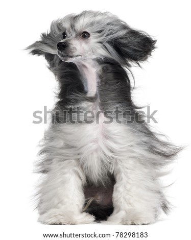 Chinese Crested Dog, 15 months old, with hair in the wind in front of white background