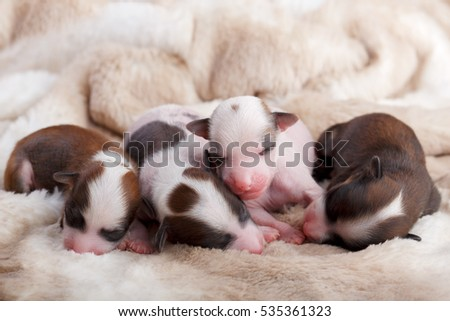 Chinese crested dog puppies