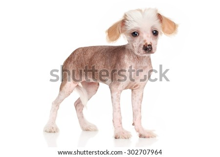 Chinese Crested dog puppy posing in front of white background